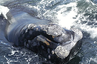 Callosity - Callosities on a northern right whale