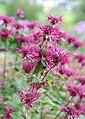 Monarda hybrida - Giardino d'Europa De Gasperi 2.jpg