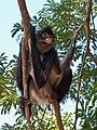 Mono araña - Quintana Roo - México-3.jpg