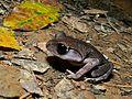 Montane Litter Frog (Leptobrachium montanum) (6658762489).jpg