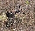 Moose -1 (2616726321).jpg