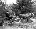 Moose Stolta pulling cart 1908.jpg