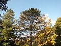 Morris Arboretum Pseudolarix amabilis.JPG