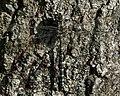 Mosaic Darner (Aeshna sp.) - Gatineau Park.jpg