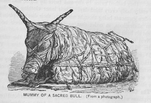 Drawing of mummified bull, drawing from a book...