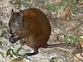 Musky-rat (Hypsiprymnodon moschatus).jpg