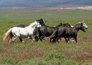 Equine coat color - Mustangs on the range, showing a wide range of coat colors