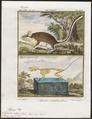 Myoxus nitela - met skelet - 1700-1880 - Print - Iconographia Zoologica - Special Collections University of Amsterdam - UBA01 IZ20400193.tif