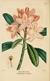 NAS-067 Rhododendron maximum.png