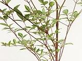 Nandina domestica 20101209 c.jpg