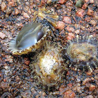 Patella vulgata - Image: Napfschnecken Galizien 2005