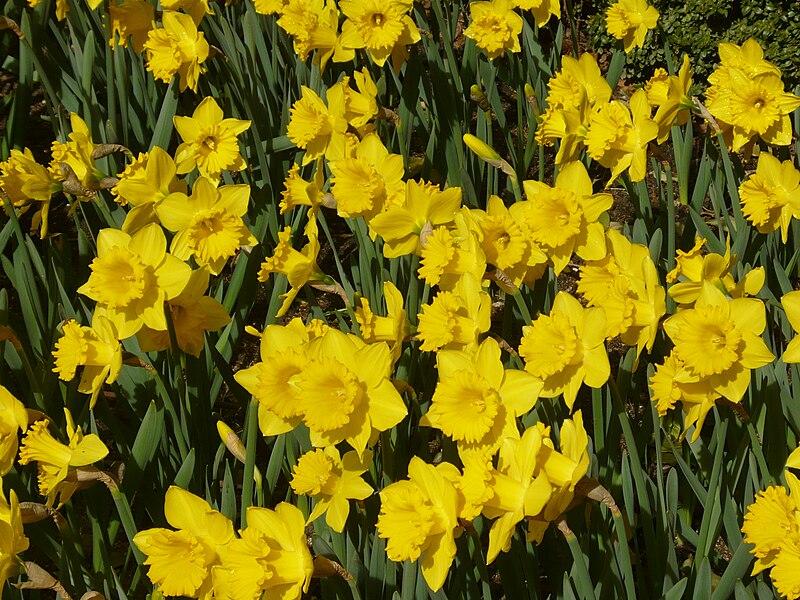 Высота - 45 см Диаметр цветка - см Кол-во в упаковке: 5 луковиц трубчатый.  Популярный трубчатый нарцисс желтого...