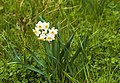 Narcissus tazetta, Agde 01.jpg