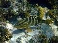Nassau grouper (13002589674).jpg