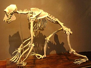 Common chimpanzee - The skeleton of chimpanzee in La Plata Museum, Argentine