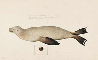 Japanese sea lion - Illustration of a Japanese sea lion in a swimming position