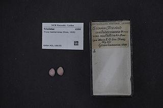 <i>Trivia mediterranea</i> Species of mollusc