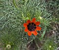 Nature of Iran IMG 7513 Flora of Iran (13952617622).jpg