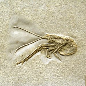 Glypheoidea - Fossil Mecochirus longimanatus