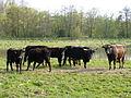 Naturschutzgebiet Kiebitzwiese, Heckrinder Herde.JPG
