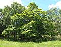 Nauclea orientalis 2.jpg