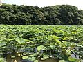 Nelumbo nucifera in north moat of Fukuoka Castle 4.jpg