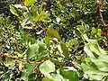 Neocarya macrophylla 0005.jpg