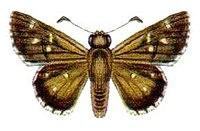 Neohesperilla senta (ento-csiro-au).jpg