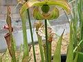 Nepenthe seedhead PB031239 02.jpg