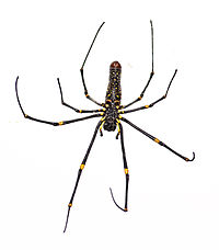 Nephila-Pilepes-ventral-side.jpg