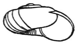 Nesovitrea binneyana shell