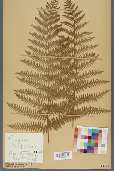 File:Neuchâtel Herbarium - Pteridium aquilinum - NEU000000721.tiff