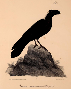 Thick-billed raven - Rüppell's depiction of the species (1835).