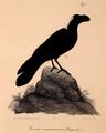 Neue Wirbelthiere zu der Fauna von Abyssinien gehörig (1835) Corvus crassirostris.png