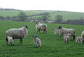 New Lambs - geograph.org.uk - 369380.jpg