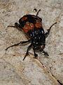 Nicrophorus vespillioides (Silphidae) (9730451928).jpg