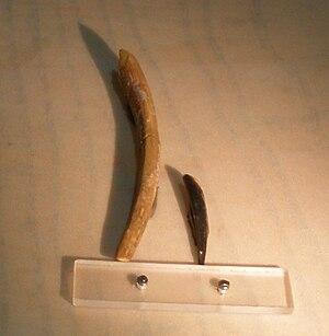 Rebbachisauridae - Nigersaurus taqueti teeth