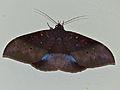 Noctuid Moth (Ischyja inferna) female (15363879728).jpg