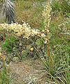 Nolina cismontana-- Chaparral Beargrass (26812031930).jpg