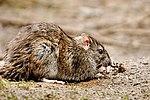 Nomming ratty - Rutland Water (33093017325).jpg