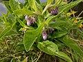 Noordwijk - Gewone smeerwortel (Symphytum officinale) v2.jpg
