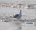 Noordwijk - Larus argentatus at the sea.jpg