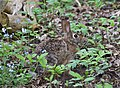 North American Cottontail Rabbit.jpg