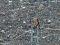 Northern Goshawk (Accipiter gentilis) (23674254966).jpg