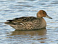 Northern Pintail RWD9.jpg