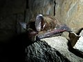 Northern long-eared bat with visible symptoms of WNS (8382939205).jpg