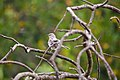 Northern mockingbird (35717715793).jpg