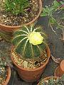 Notocactus magnificus (14579160857).jpg