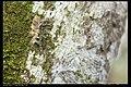 Notodontidae (9722262483).jpg