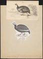 Numida meleagris - 1700-1880 - Print - Iconographia Zoologica - Special Collections University of Amsterdam - UBA01 IZ16900324.tif